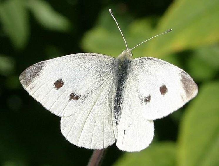 Esemplare adulto di Cavolaia
