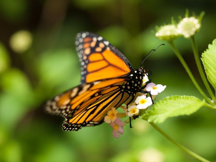 Lepidottero adulto