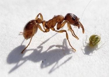 formica ed altro insetto