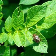 dorifora su foglie