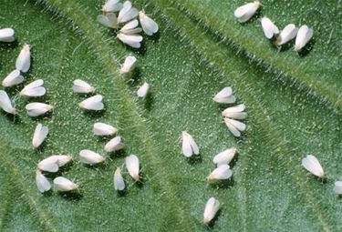 Danni alle foglie da parte delle mosche bianche fonte= google immagini
