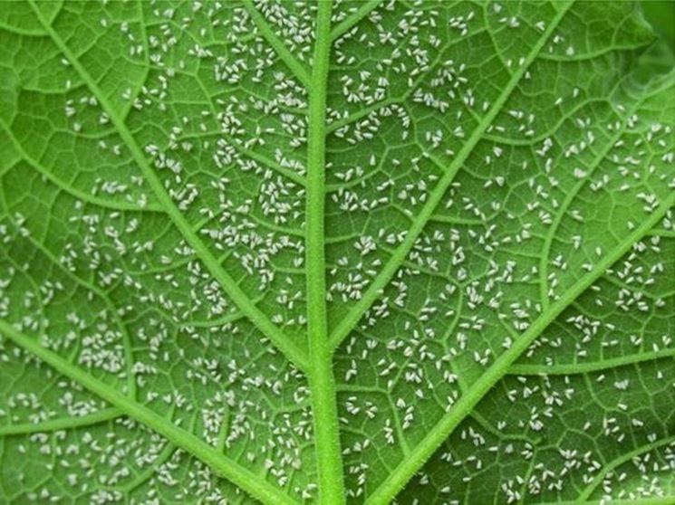 Colonie di mosche bianche sotto alle foglie fonte = google immagini