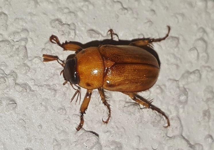 Varietà maggiolino insetto