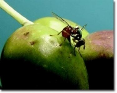 mosca che deposita uovo