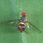 mosca dell