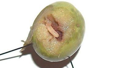 larva in oliva