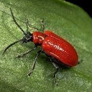 insetto parassita