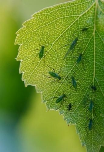 Parassiti piante parassiti delle piante for Parassiti piante
