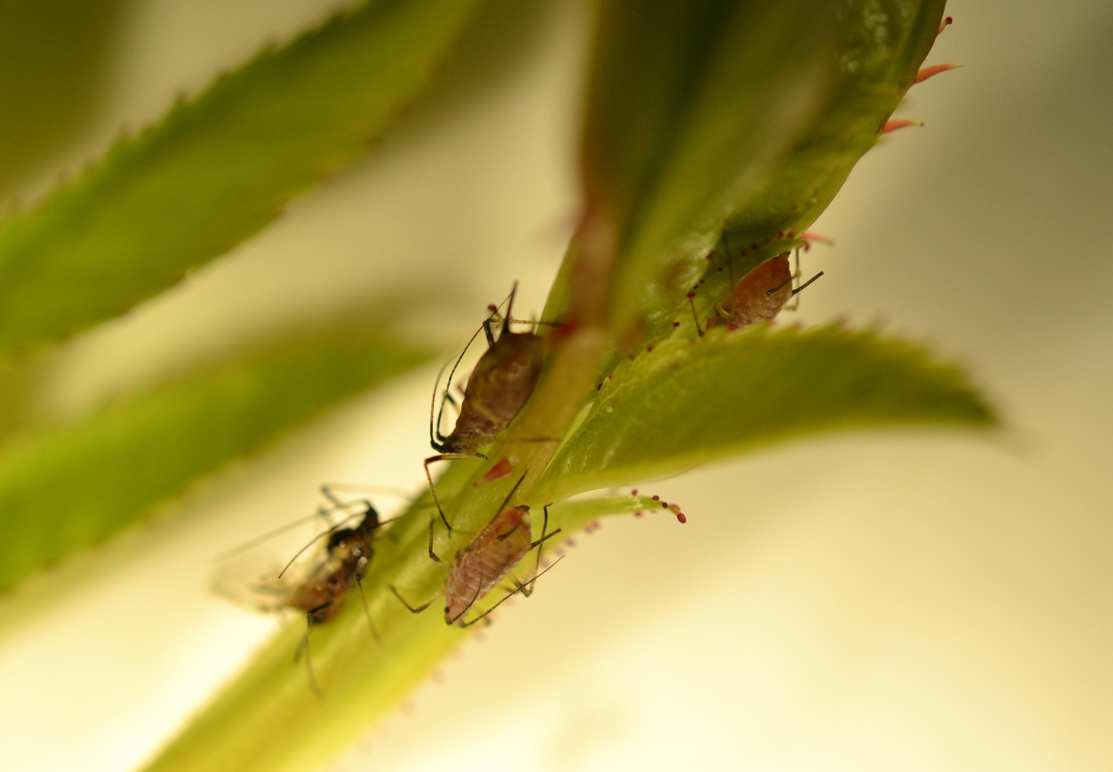 Pidocchi delle rose parassiti delle piante come curare for Pidocchi rose bicarbonato