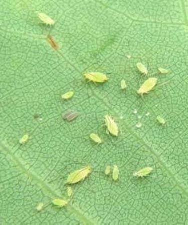 Pidocchi delle piante rimedi naturali