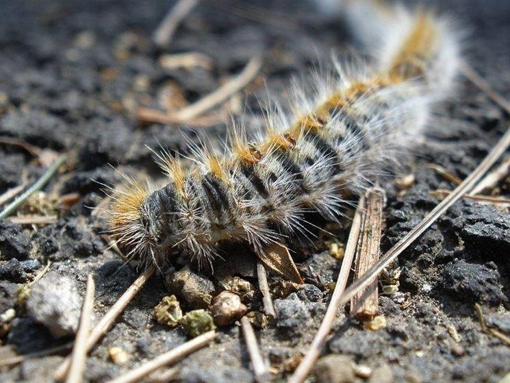 Larva di Thaumetopoea pityocampa