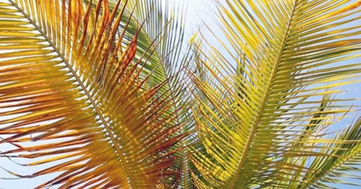 Palma infestata