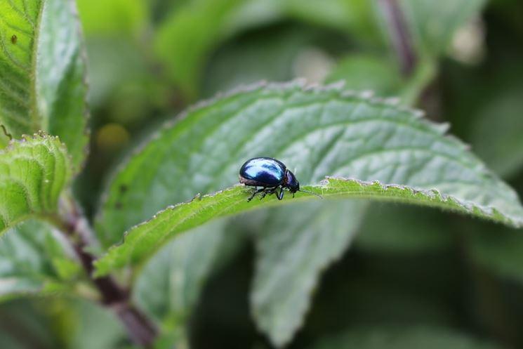 scarabeo su pianta