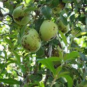Ticchiolatura sui frutti