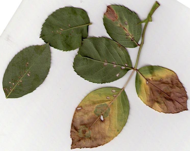 Ticchiolatura delle foglie
