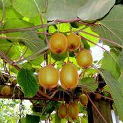 Frutti kiwi