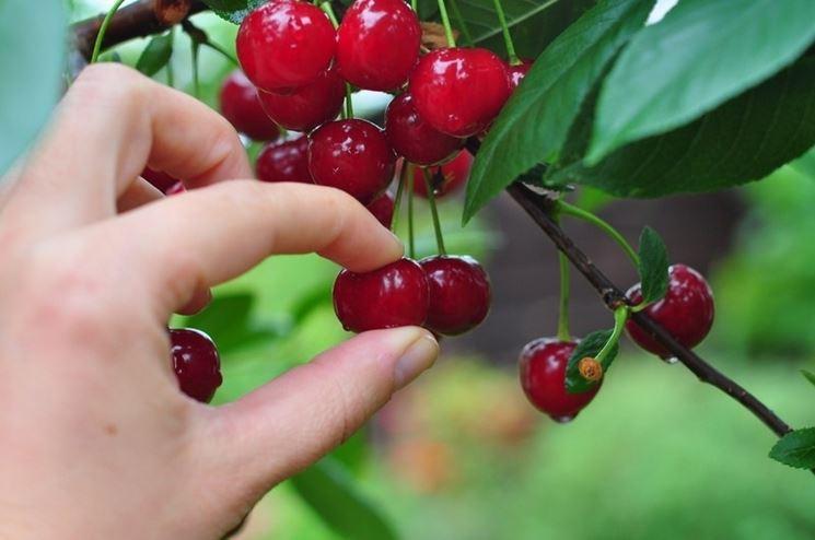 bellissimi grappoli di ciliegia