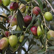 Frutti dell'albero d'ulivo