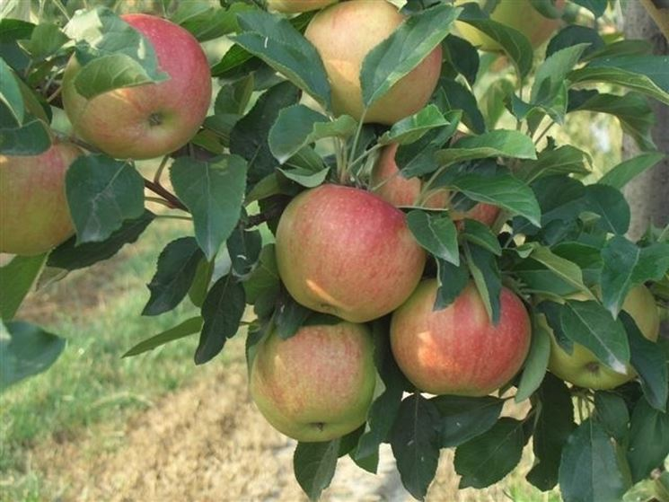 Come potare alberi da frutto potatura for Potatura del melo