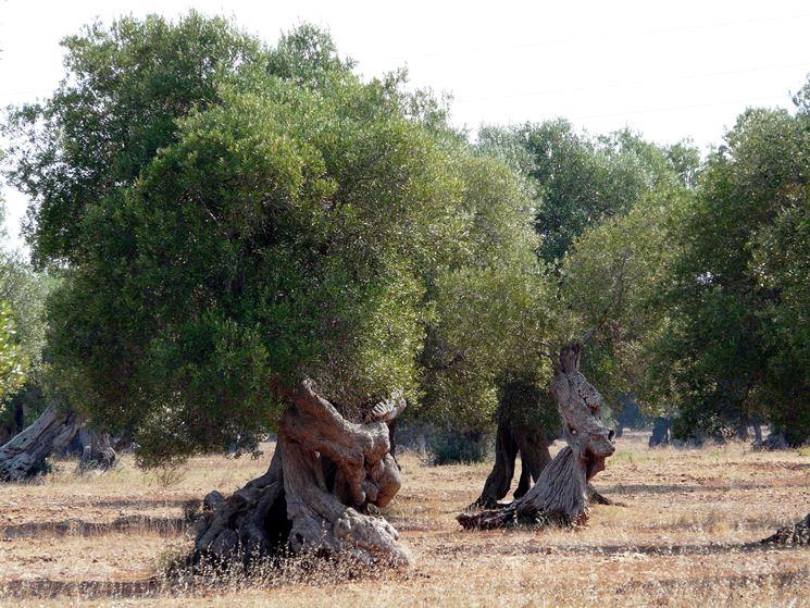 Piante di ulivi