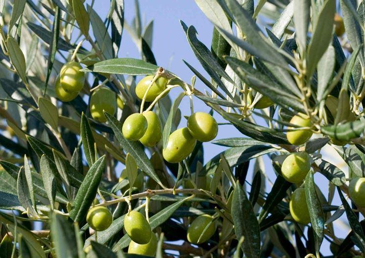 Dettaglio piante di ulivi