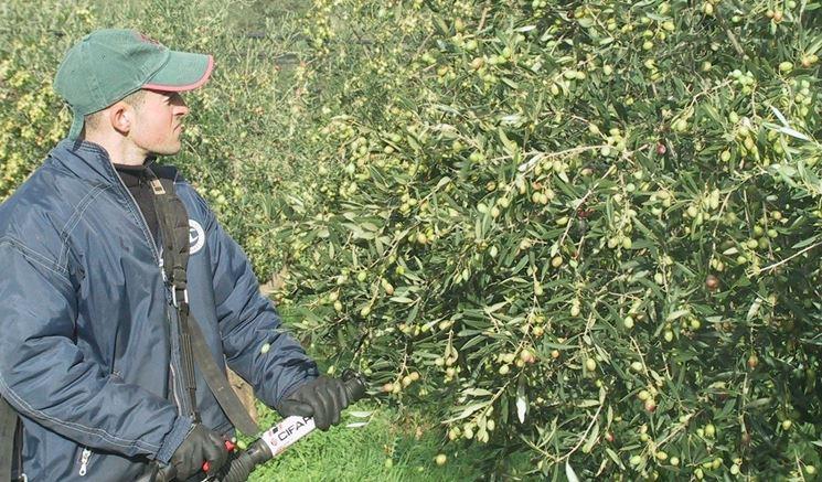 Dettaglio potatura ulivi