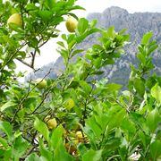 I diversi metodi di potatura in ordine alfabetico for Potatura limone periodo
