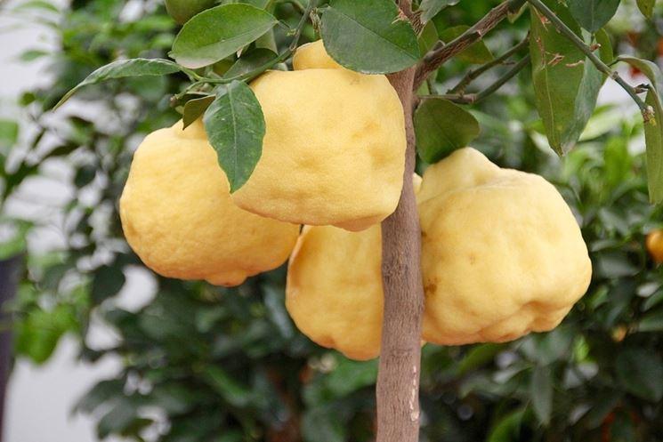 Limoni fiore