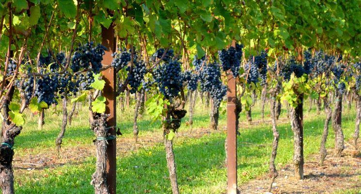 campi vite uva