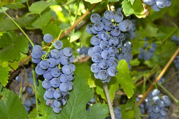 potatura uva fragola