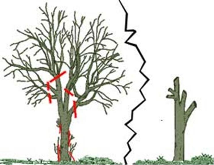 Come potare le piante potatura potatura piante for Attrezzi per innesti