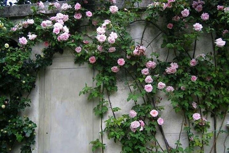 Rosa rampicante in crescita sul muro.