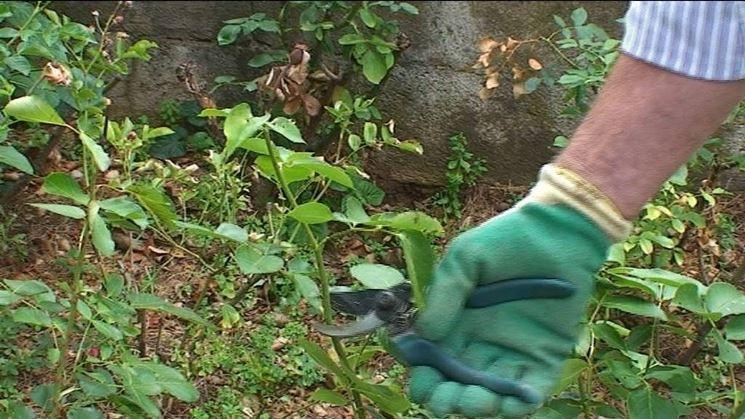 Come potare le rose potatura potatura rose for Potatura delle rose