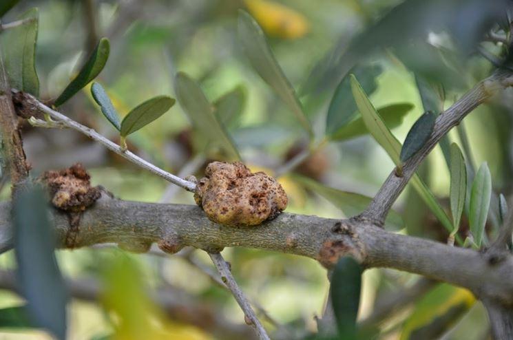 Un ramo di olivo con la rogna