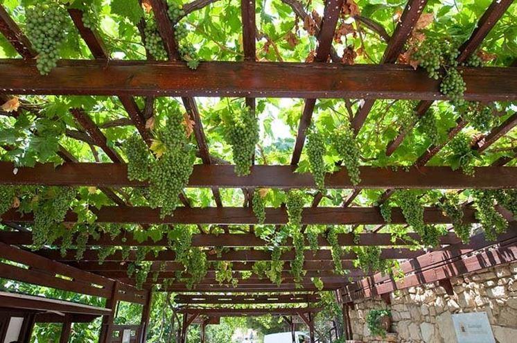 Vite da pergolato terminali antivento per stufe a pellet - Coltivare uva da tavola in vaso ...