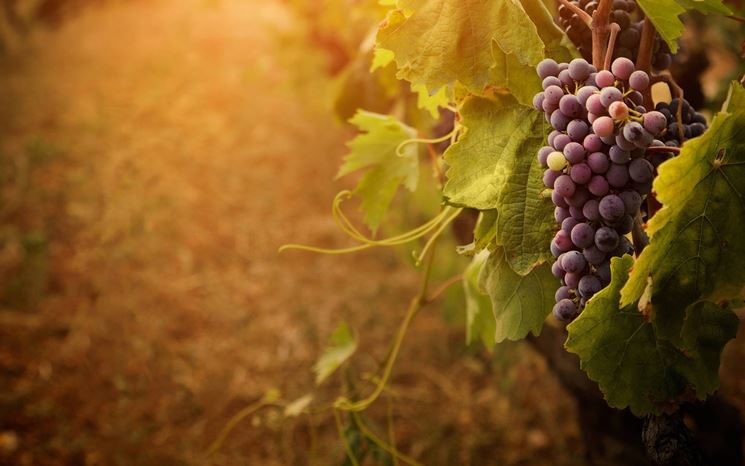 Foto di un grappolo d'uva