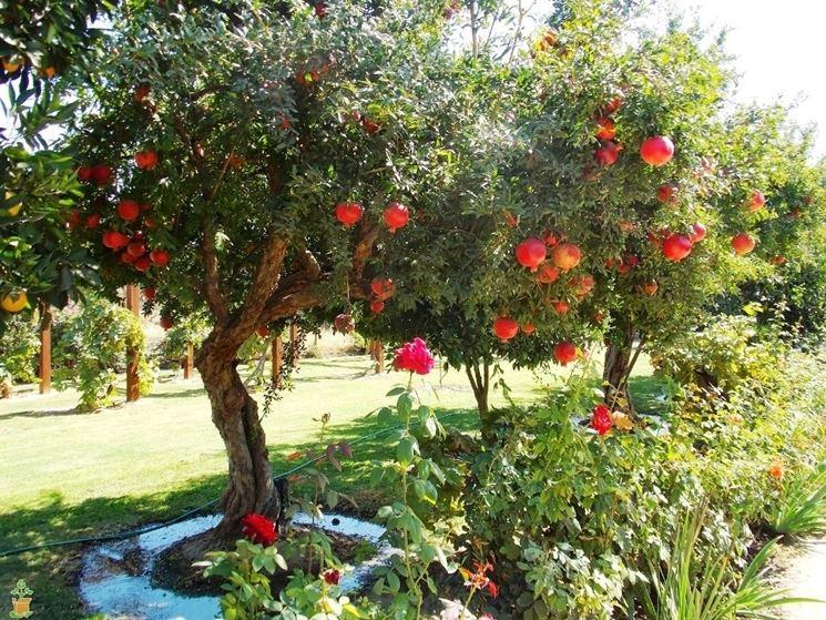 Alberi melograno giardino