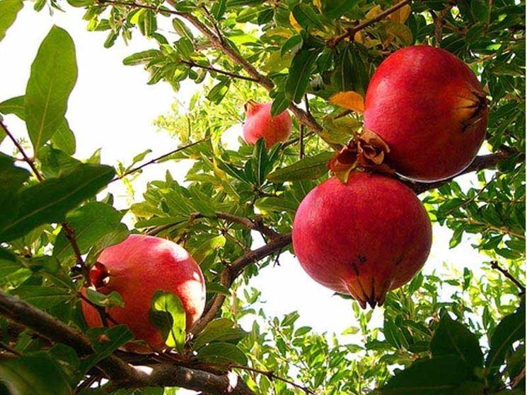 Frutti albero