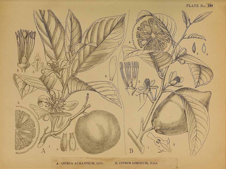 Illustrazione botanica di diverse varietà di Citrus