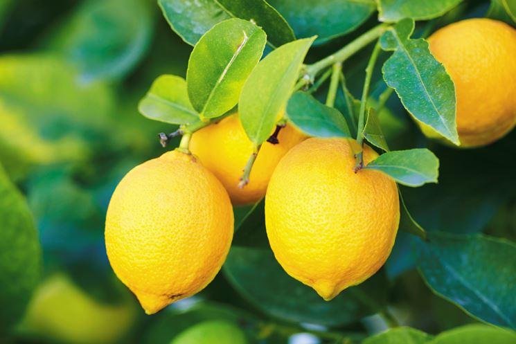 Il giallo frutto dell'albero di limone