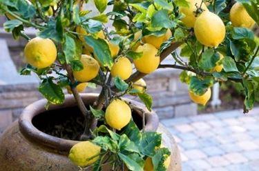 pianta di limone in vaso