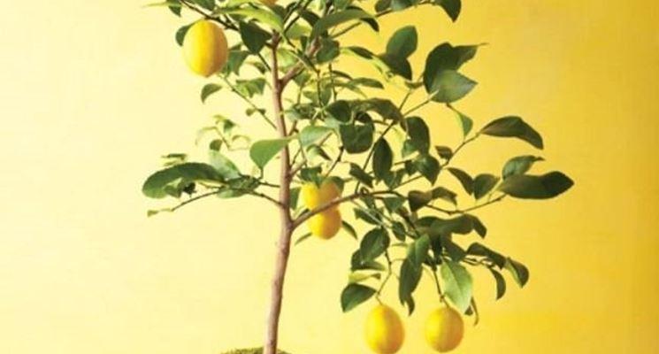 Vaso adatto per piantare limoni
