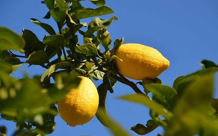 Limoni in vaso potatura limoni in vaso potatura for Pianta limone 4 stagioni