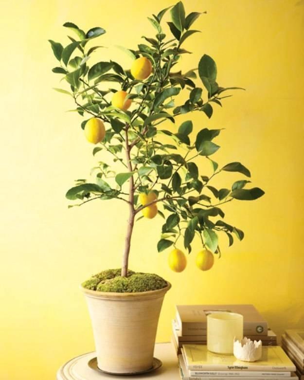 Limoni in vaso potatura limoni in vaso potatura for Concime per limoni fatto in casa