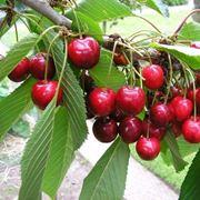 ciliege su ramo