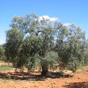 Una pianta di olivo