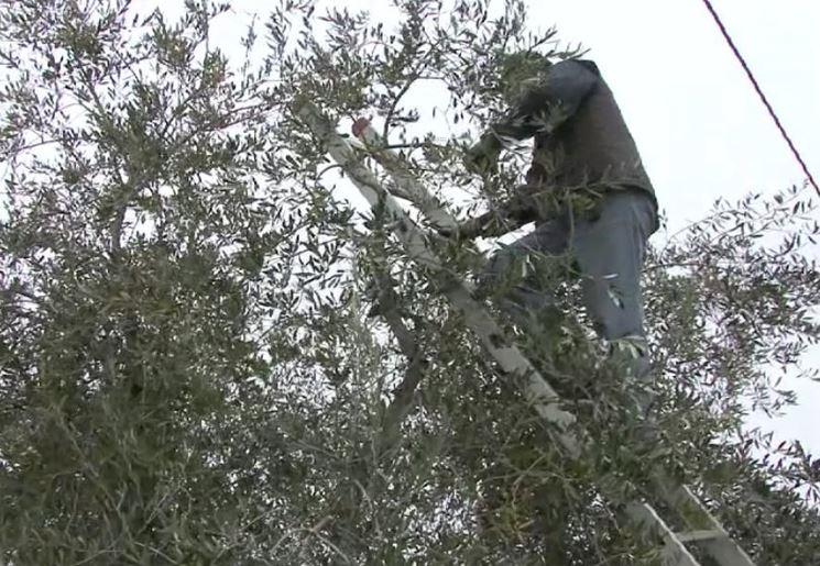 Intervento di potatura di un olivo
