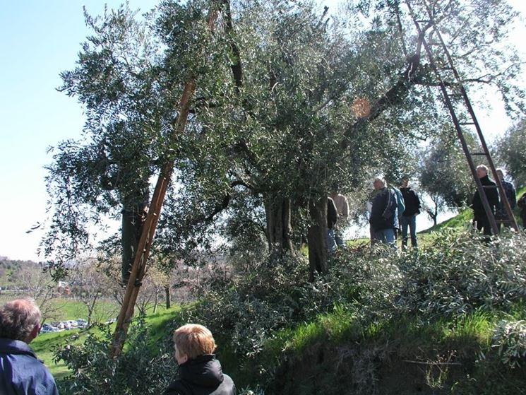 Dimostrazione di potatura olivi