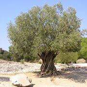 periodo potatura olivo