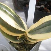 phalaenopsis in ricrescita